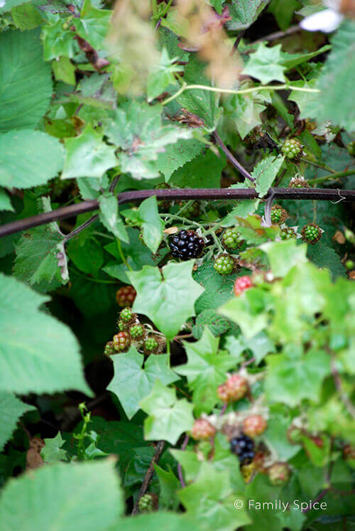 Blackberries in San Francisco by FamilySpice.com