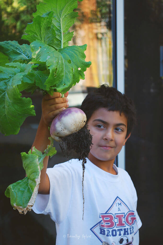 Harvesting Turnips in the Garden by FamilySpice.com