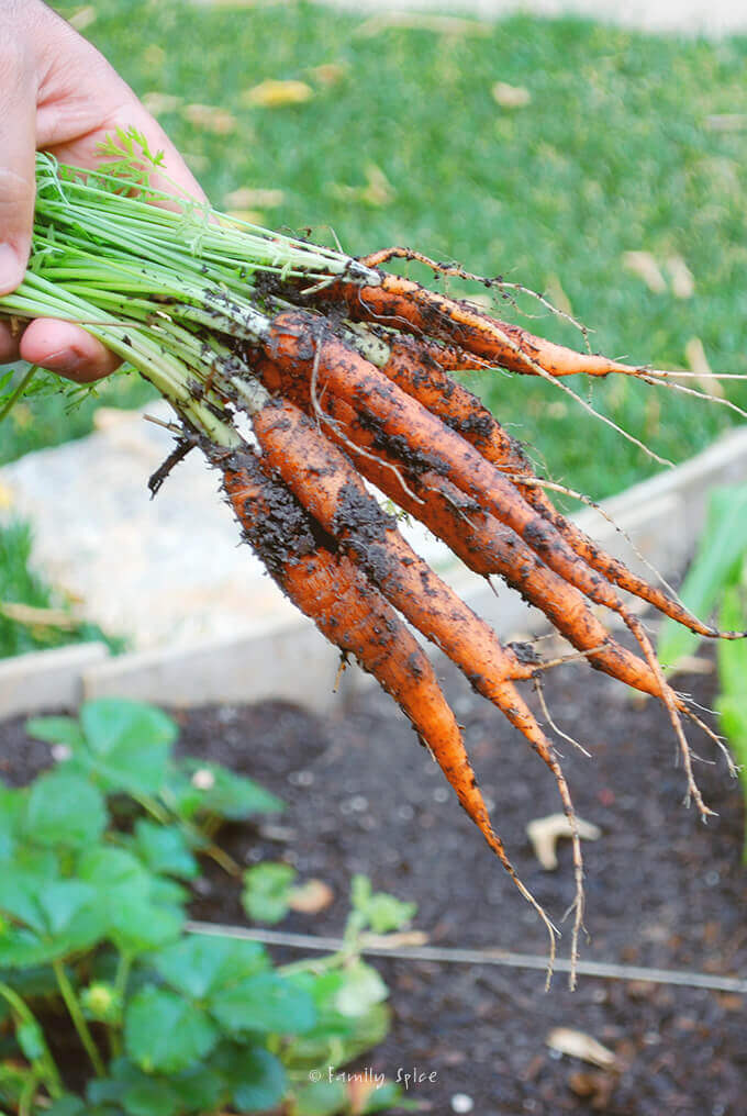 Harvesting Carrots in the Garden by FamilySpice.com