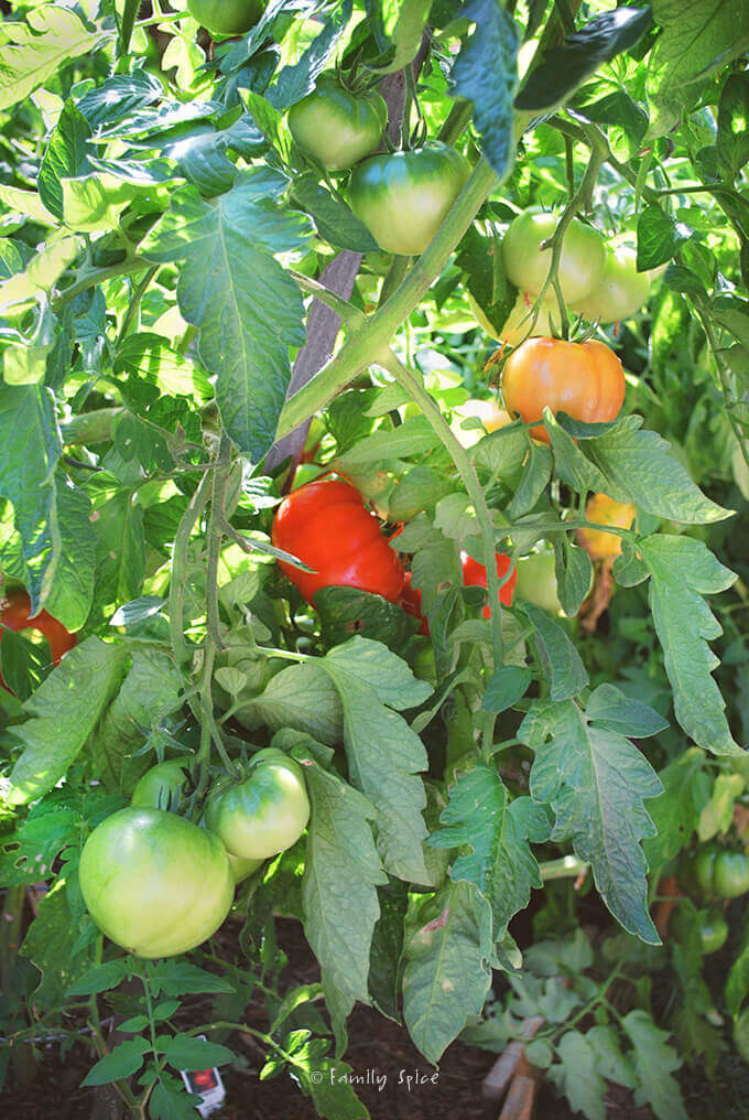 Tomatoes in the Garden by FamilySpice.com