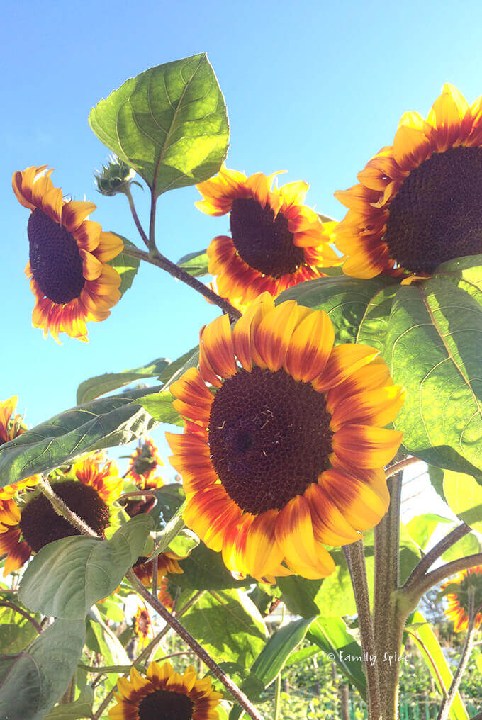 Sun Flowers at the Del Mar Fair by FamilySpice.com