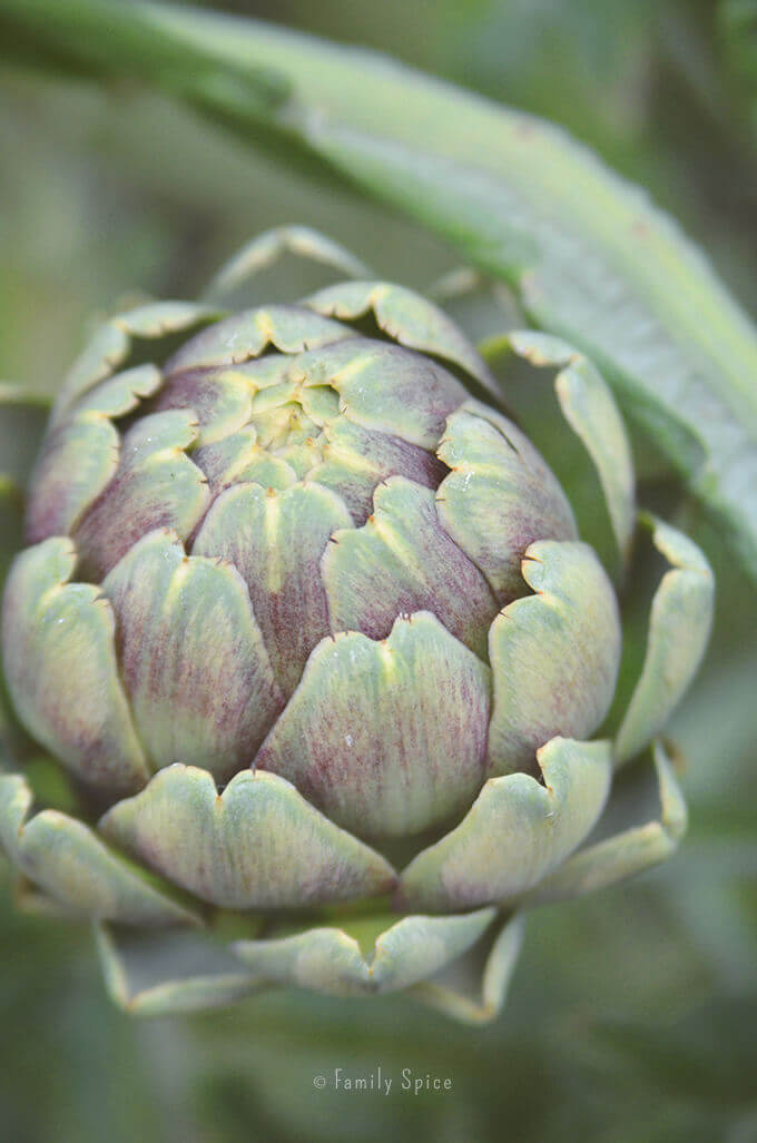 Artichoke growing in the garden by FamilySpice.com