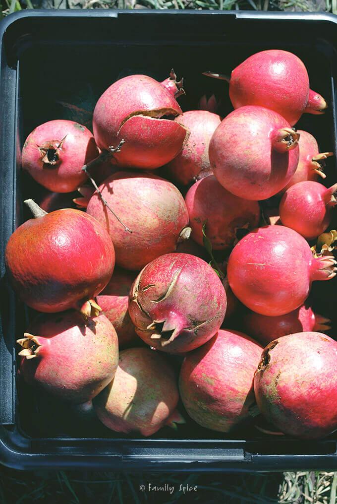 A bin full of pomegranates by FamilySpice.com