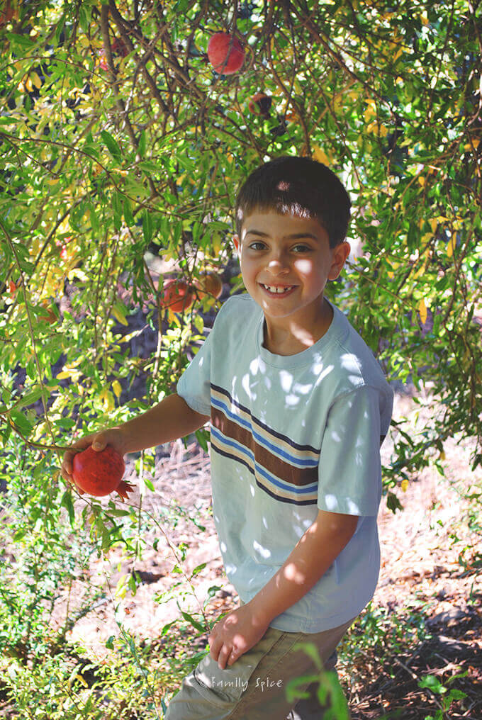 Kids picking pomegranates from the tree by Familyspice.com
