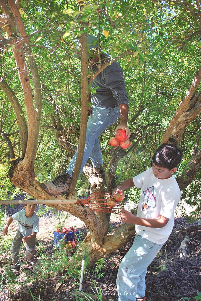 My family picking pomegranates from the tree by Familyspice.com