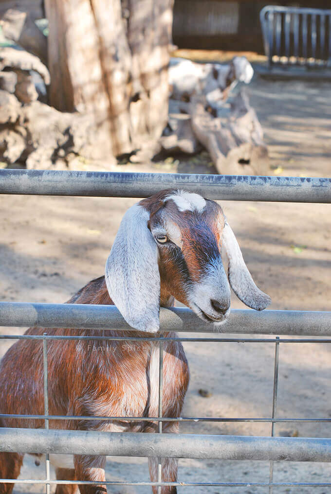 Closeup of Goat at Bates Nut Farm in January by FamilySpice.com
