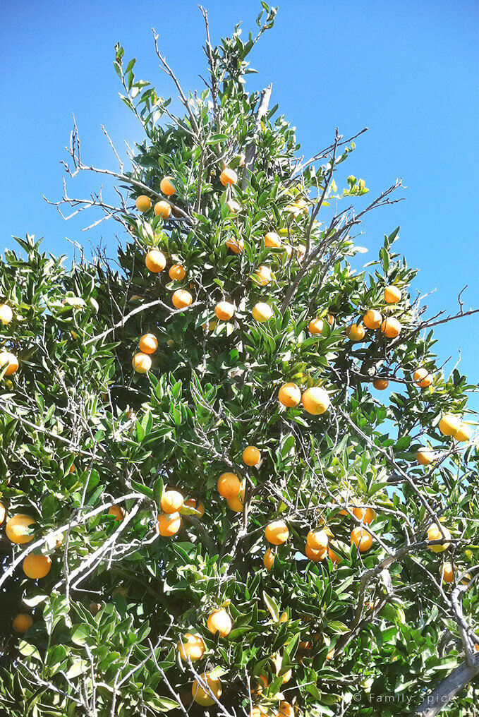 Orange trees from an orange grove in Valley Center, California by FamilySpice.com