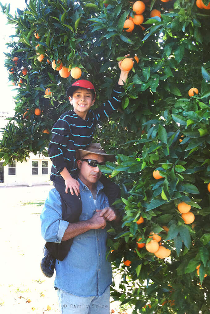 My husband and boy picking oranges in Valley Center, California by FamilySpice.com