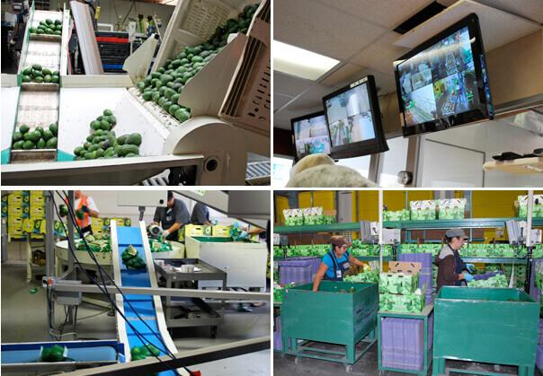 Avocado Packing Plant by FamilySpice.com