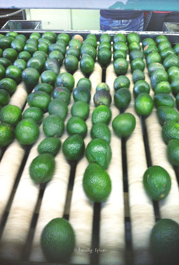 Avocado Packing Plant by FamilySpice.com