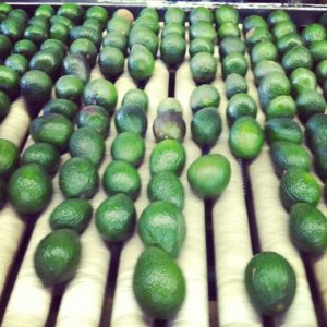Avocado Packing Plant