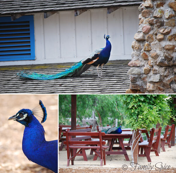 Peacocks at The Leo Carillo Ranch in San Diego