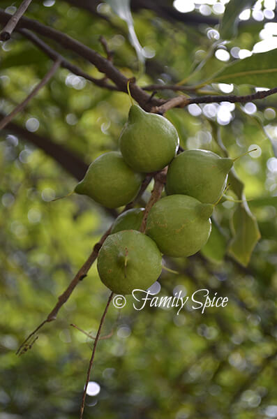 Macadamia Nuts on the tree