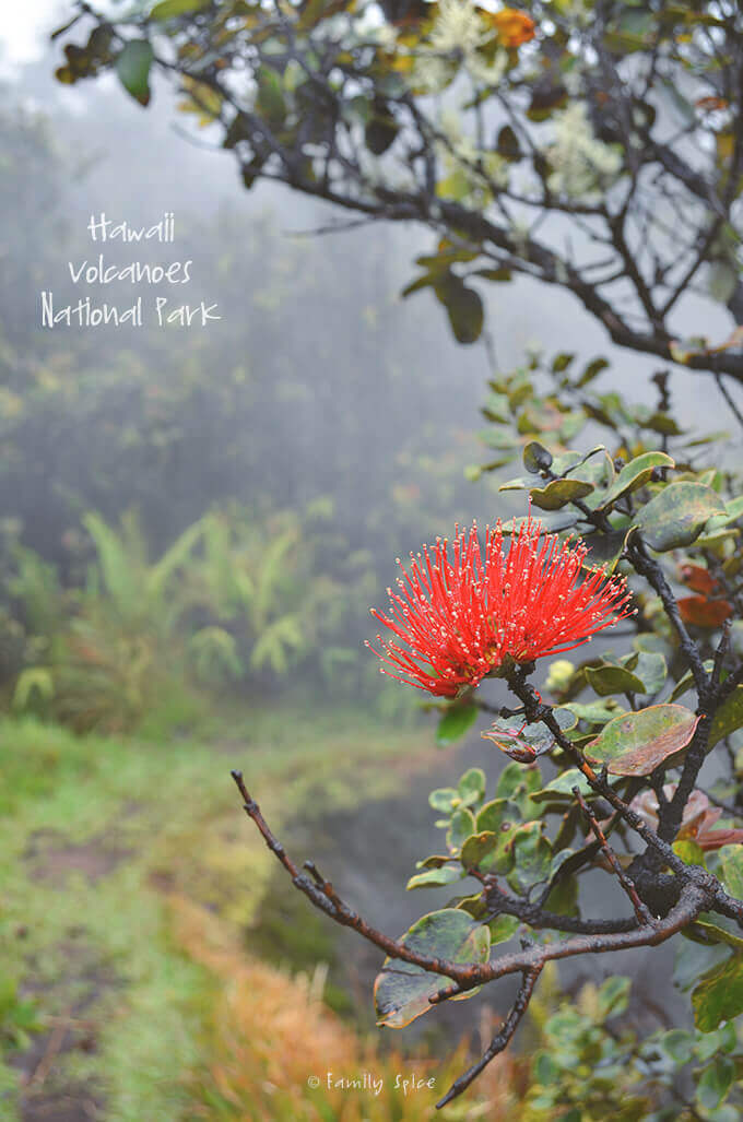 Red Flower at Hawaii Volcanoes National Park by FamilySpice.com