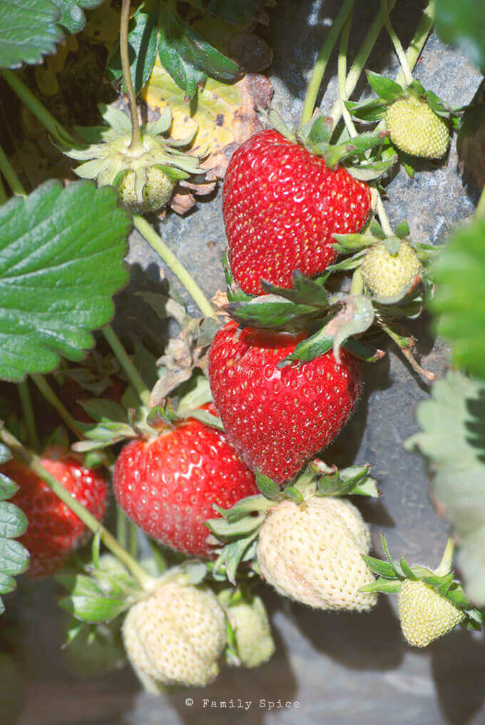 Strawberries on the vine by FamilySpice.com