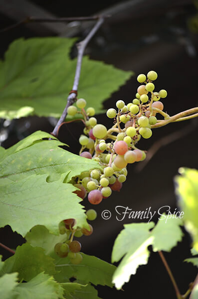 july2013_grapes