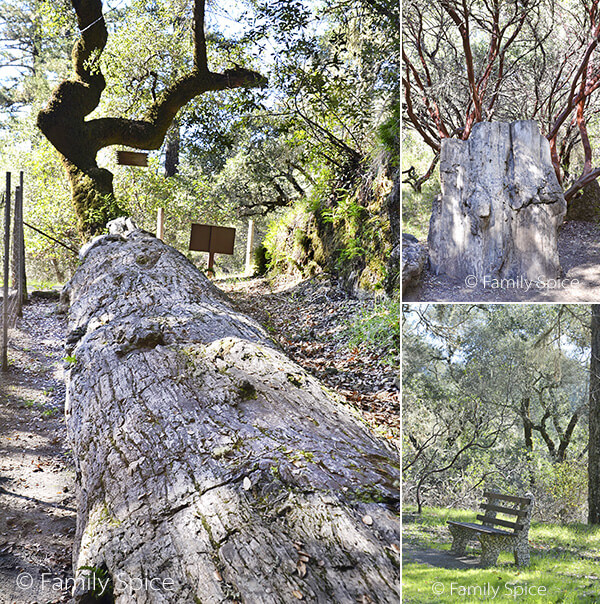 Things to Do in Napa with Kids: Petrified Forest in Calistoga by FamilySpice.com