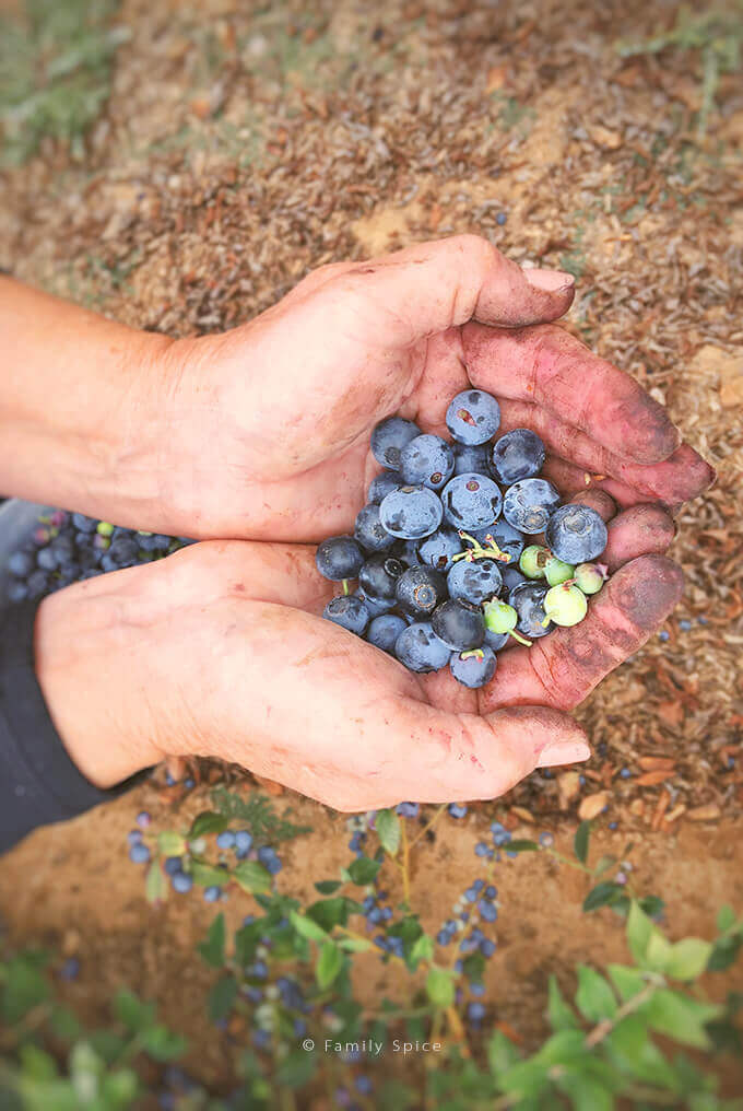 Hands holding blueberries in the field by FamiySpice.com