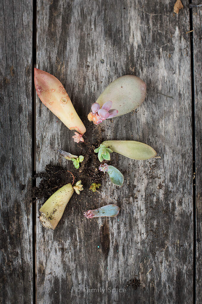 Propagating baby succulents by FamilySpice.com