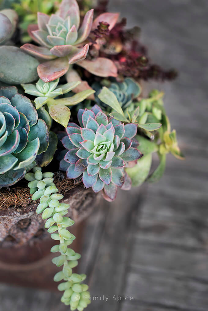 Succulent Arrangement by FamilySpice.com