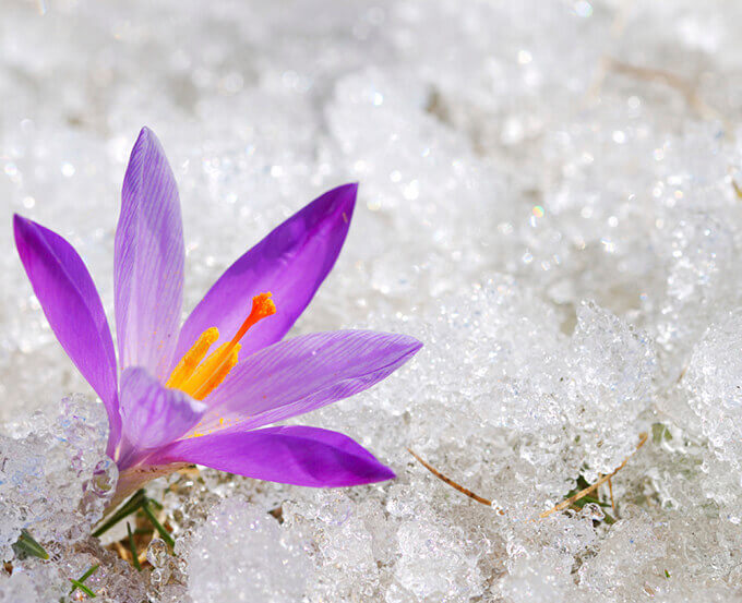 The crocus flower's stamen is dried to make saffron - FamilySpice.com