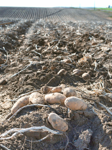Potatoes just harvested in the field