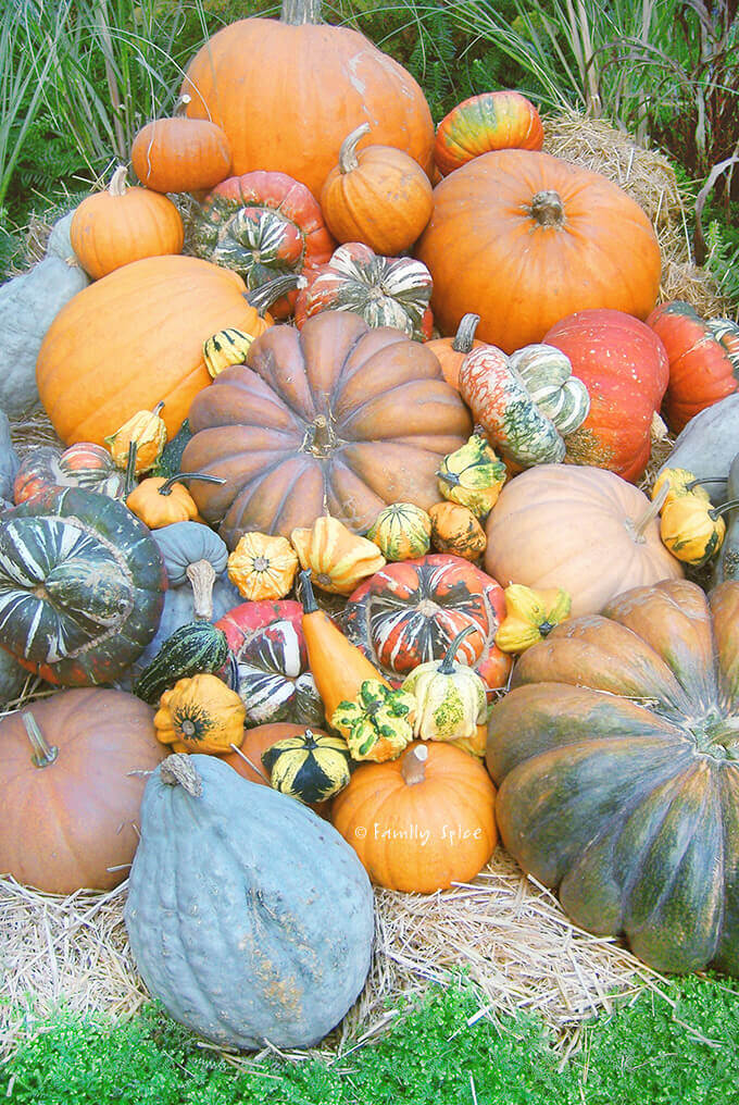 A large pile of assorted pumpkins in many different colors and sizes by FamilySpice.com