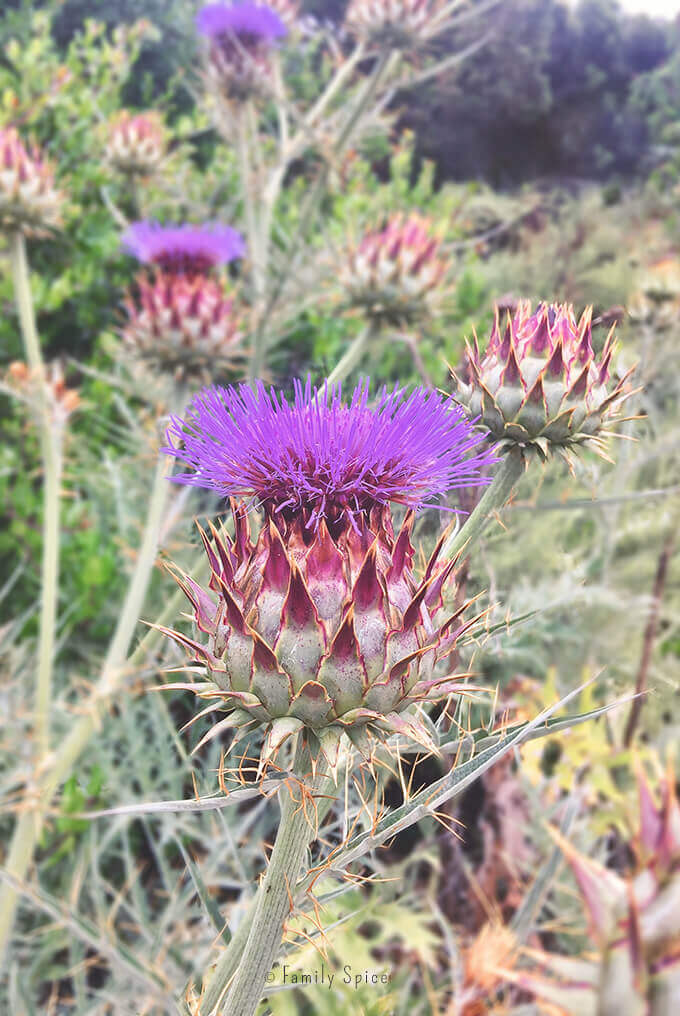 Artichoke blooming in the hills of San Diego, California by FamilySpice.com