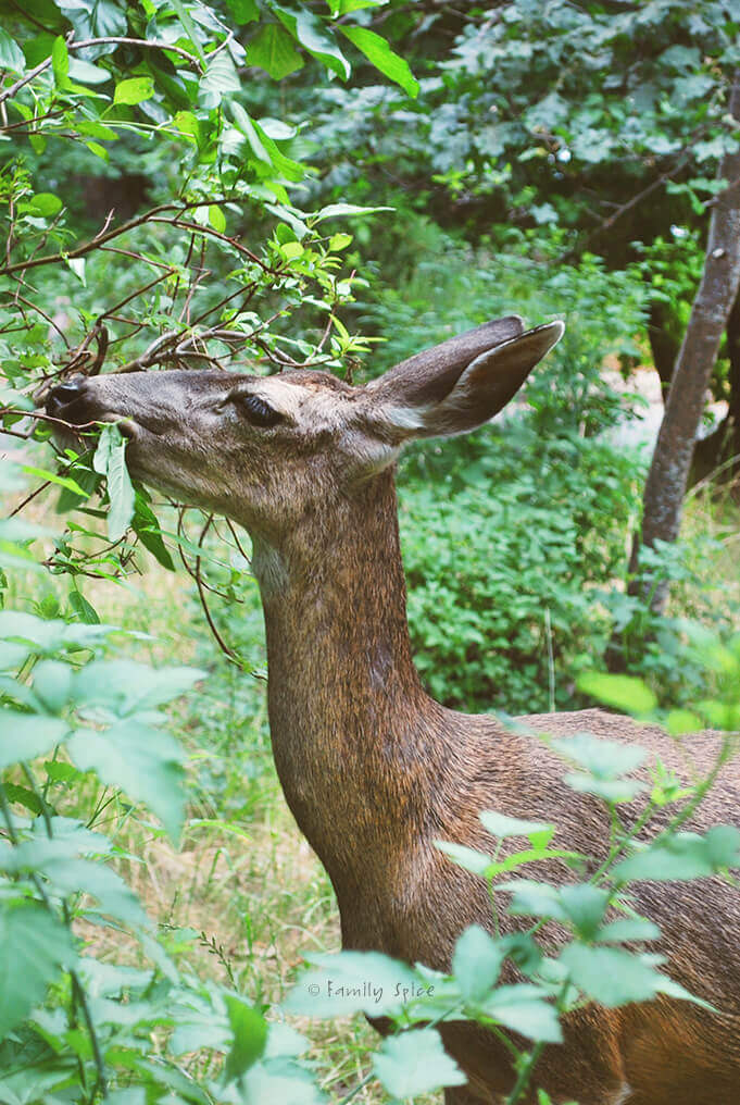 Deer eating plants in Yosemite by FamilySpice.com
