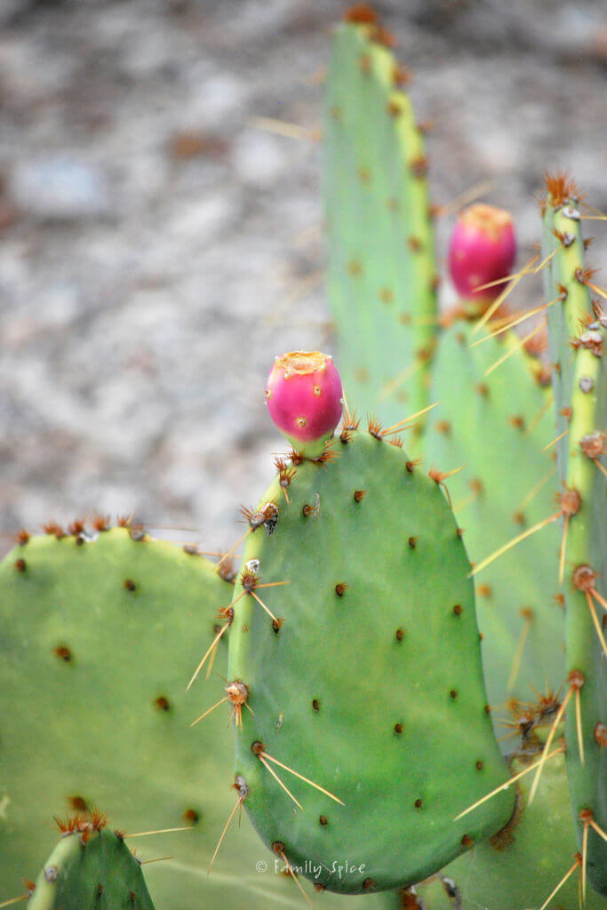 Prickly pear cactus with fruit on it