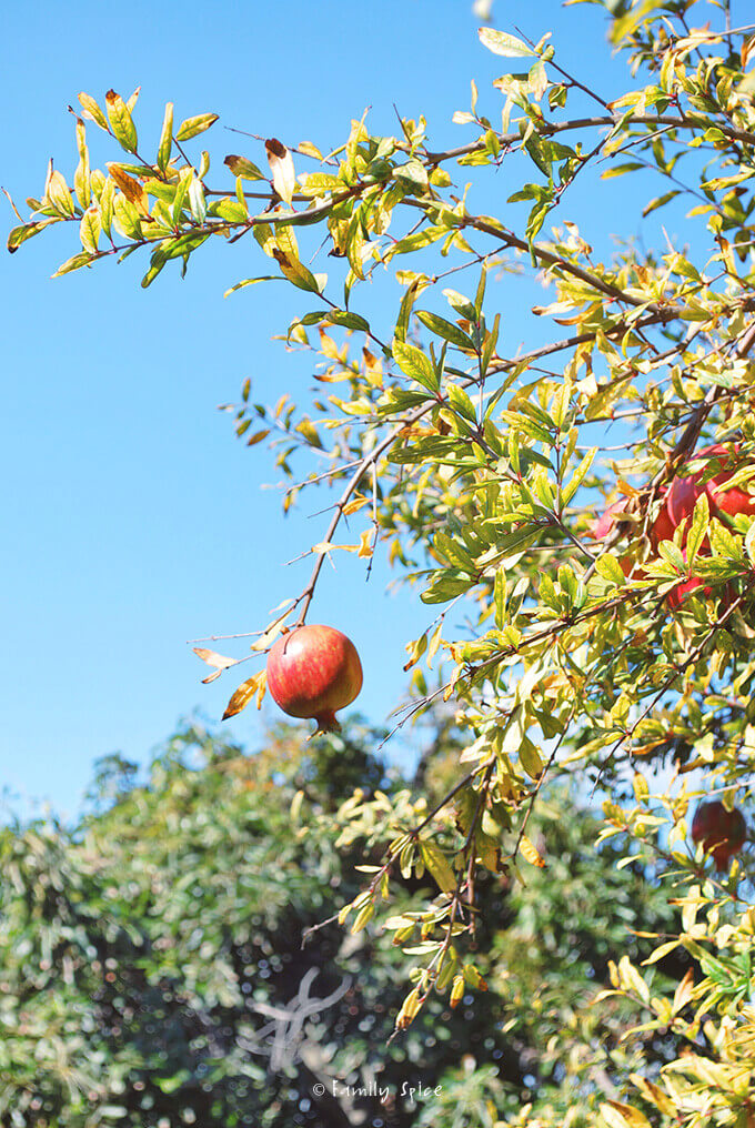 A single pomegranate hanging from the tree branch by FamilySpice.com