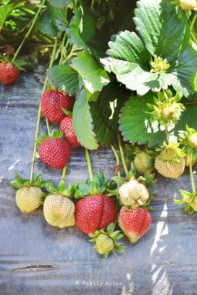 Strawberries on the vine from our strawberry farm tour