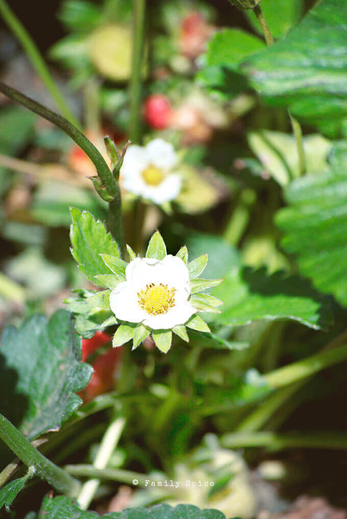 Closeup of strawberry blossoms on a strawberry plant