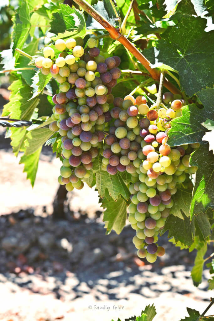 Green grapes turning purple hanging on grape vines