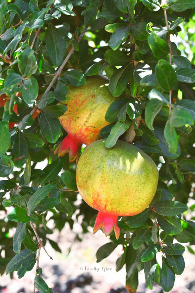 Green and red pomegranate growing on a tree