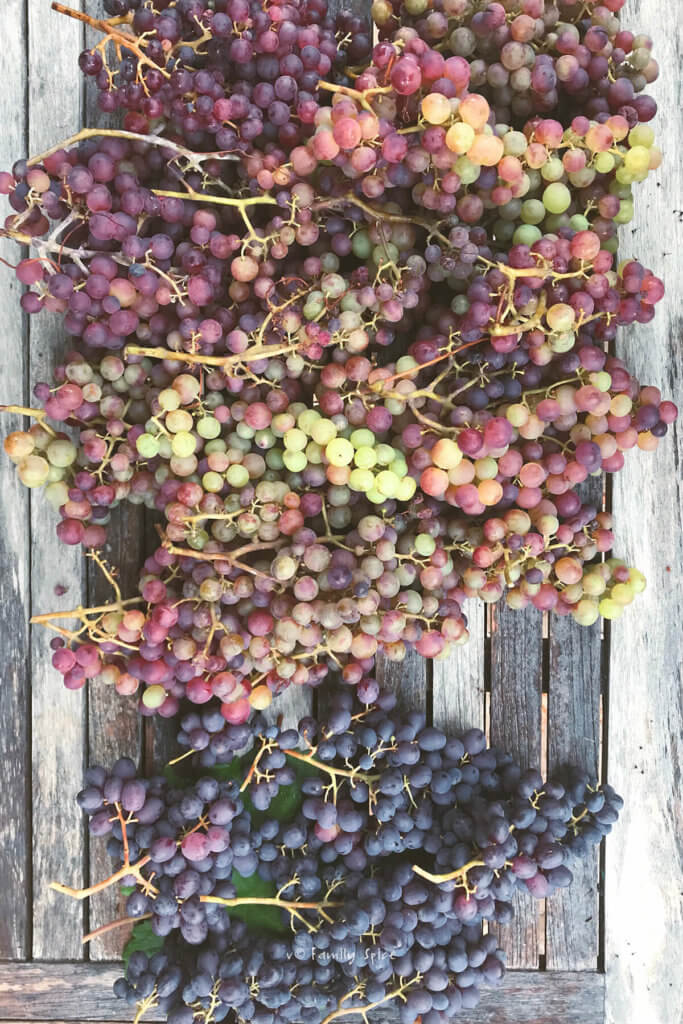 A wooden table filled with about 20 bunches of red and purple grapes