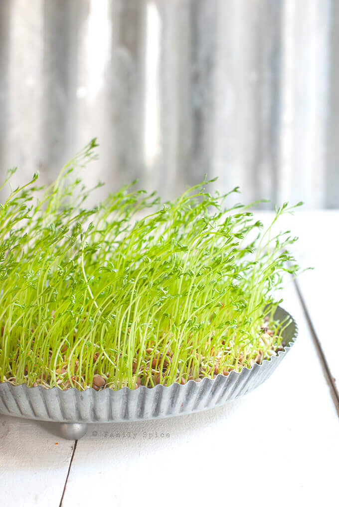 Wheat sprouts grown in a tin pie plate for the sofreh haft seen and nowruz celebrations by FamilySpice.com