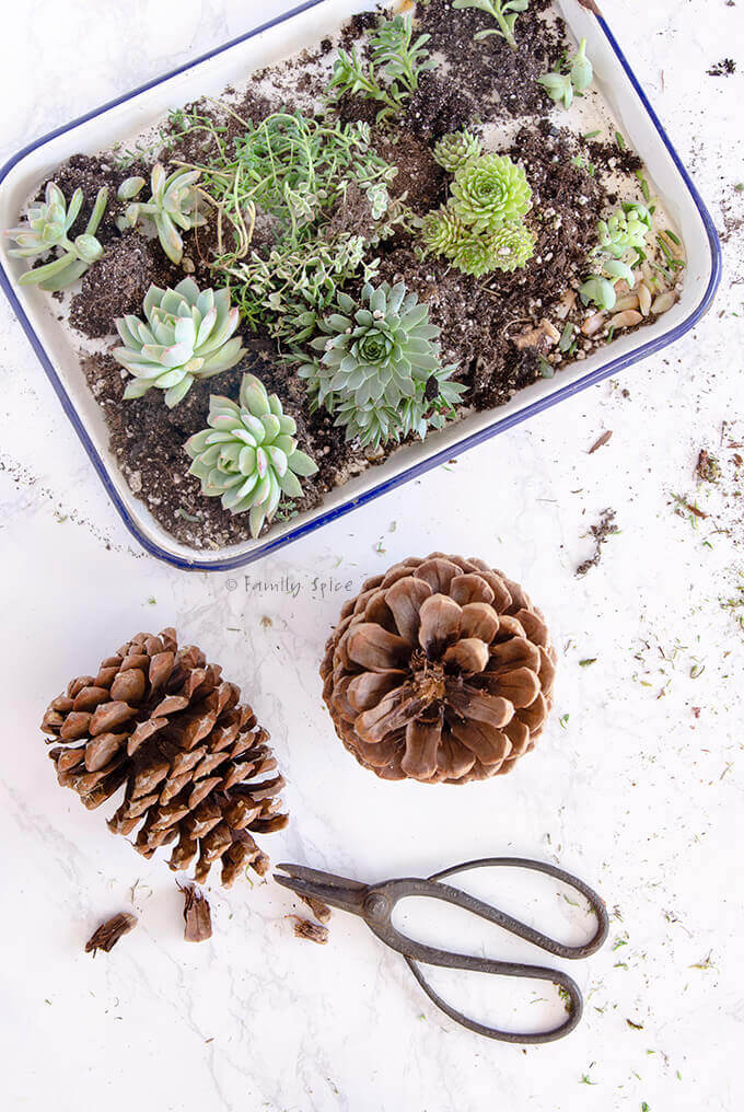 Everything you need to make succulent topped pine cones by FamilySpice.com