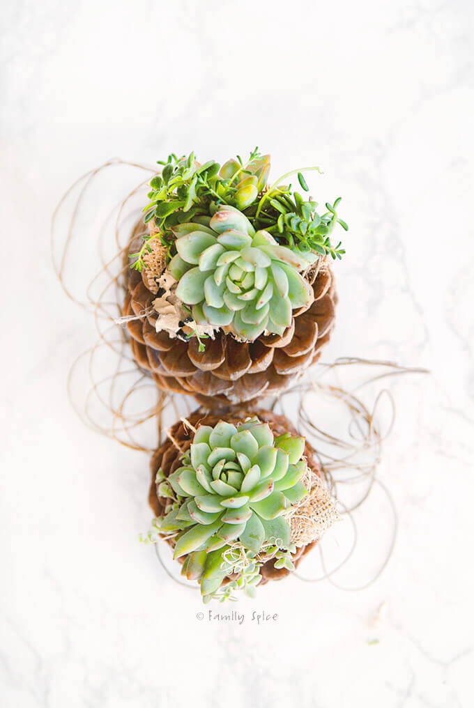 Overhead view of succulents planted on top of pine cones by FamilySpice.com