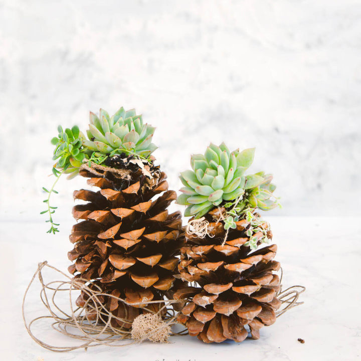 Large pinecones topped with succulents