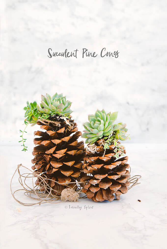 Pinecone Craft: Succulent Pinecones for Thanksgiving Centerpiece by FamilySpice.com