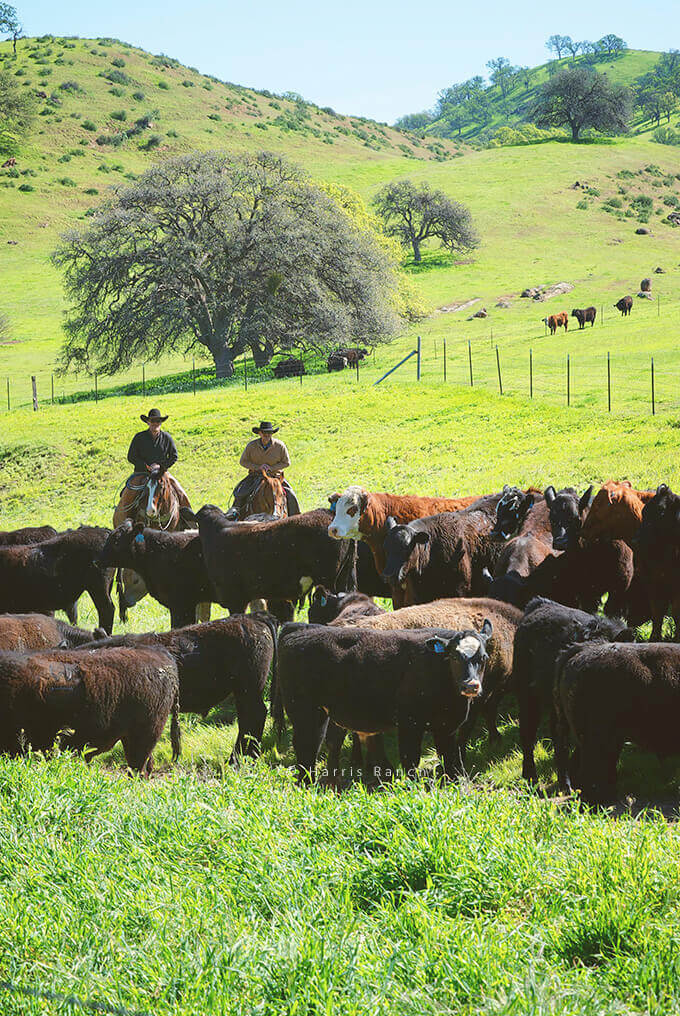 Closer view of Harris Ranch Beef cowboys watching over their cattle