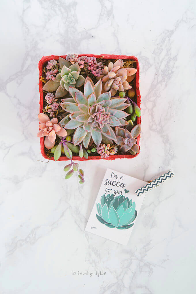 Overhead shot of a succulent arrangement in a red berry carton with a free succulent valentine printable by FamilySpice.com