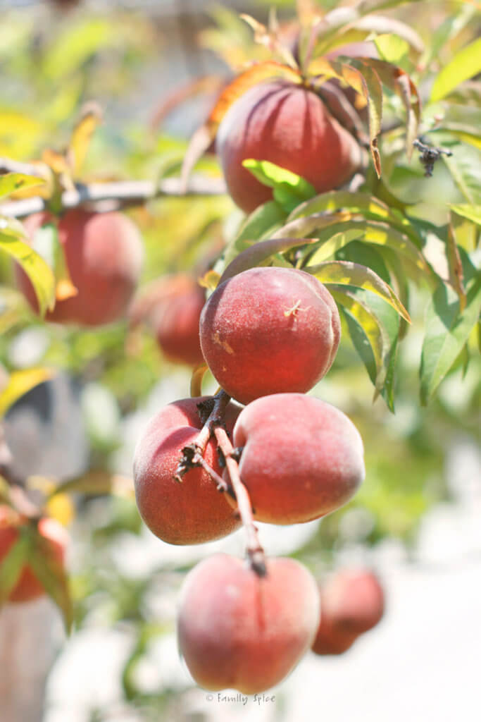 Fresh peaches hanging on a tree