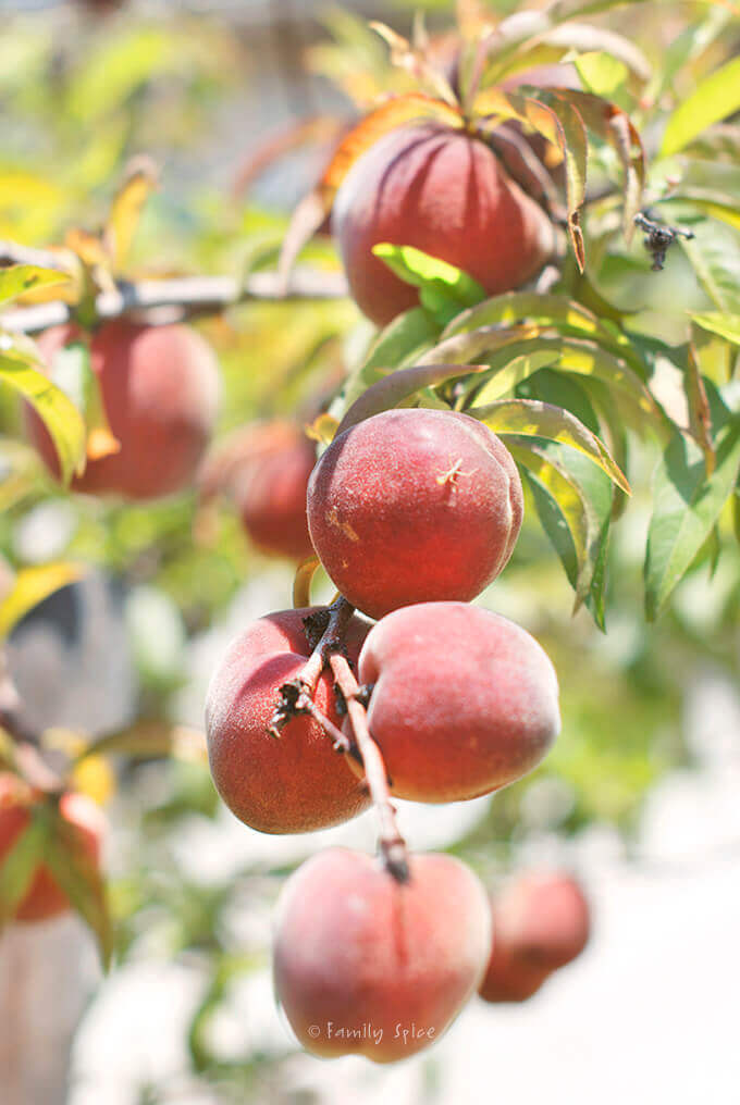 Peaches growing on a tree by FamilySpice.com