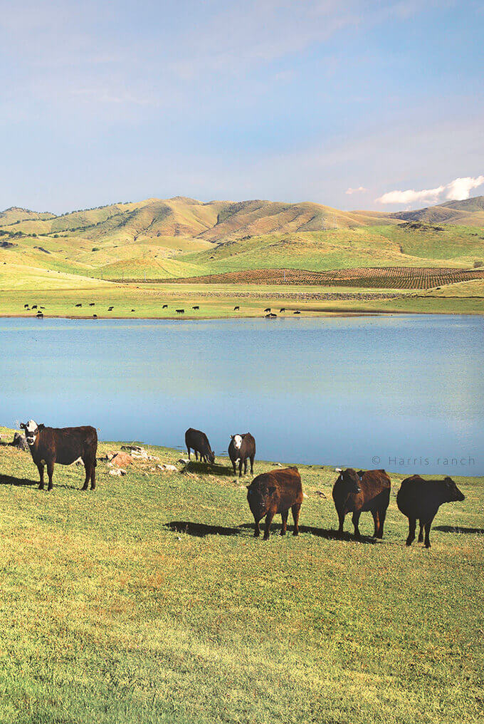 Harris Ranch cattle grazing next to a lake