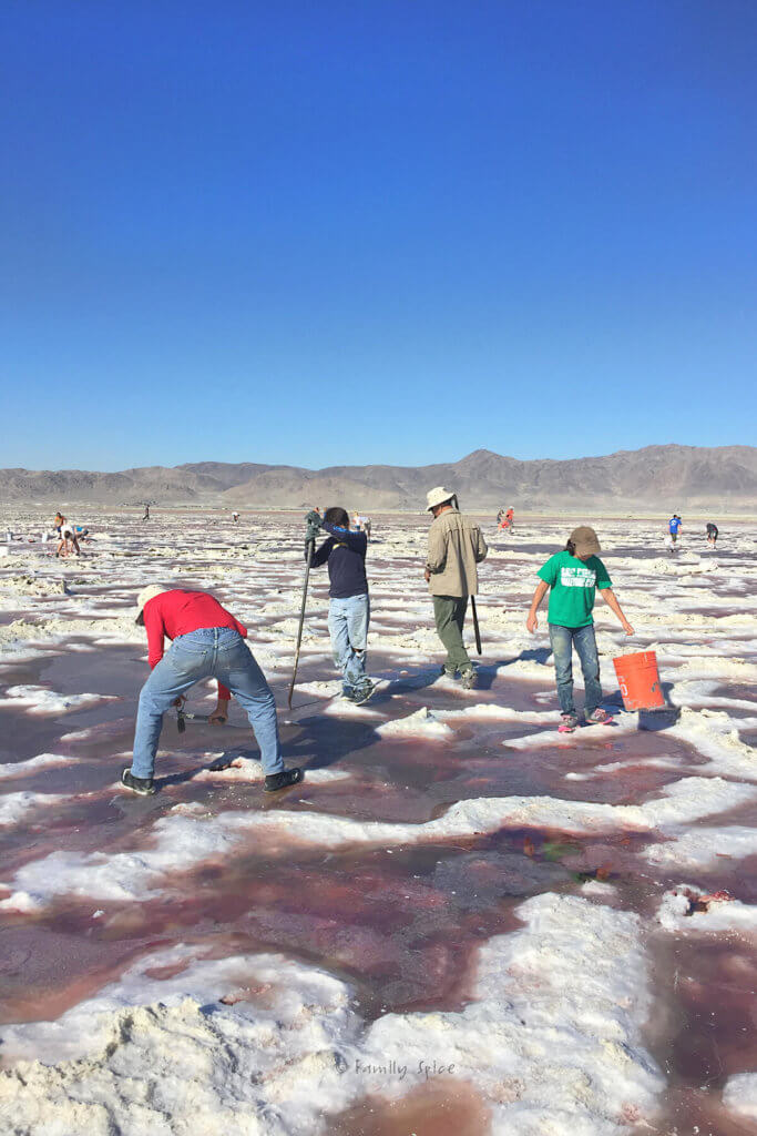 A father and his kids digging up crystals at the pink brine fields of Genorama