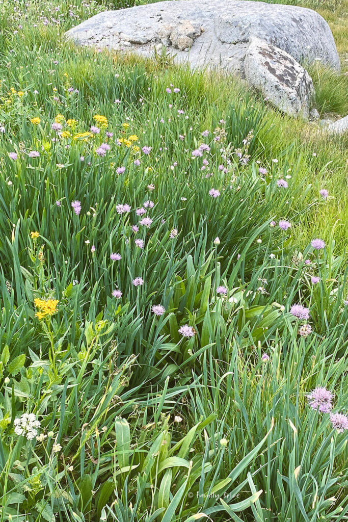 Wild onions and onion blossoms